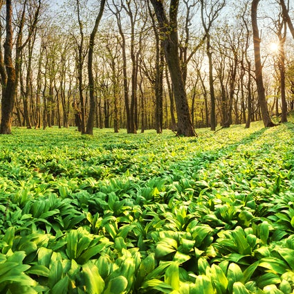 Into the wild: picking wild garlic