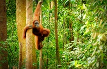 See orangutans in the wild in Ketambe, North Sumatra