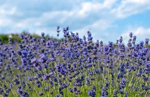 Das Reich des Lavendels