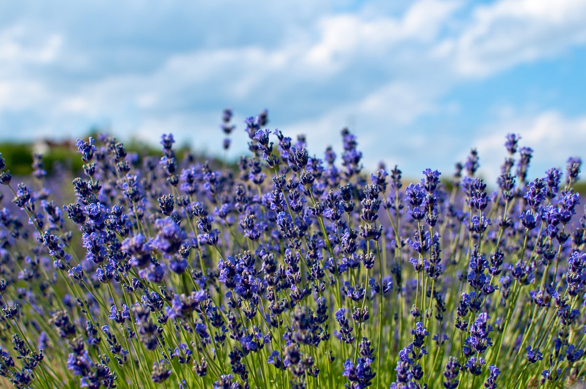 The realm of lavenders