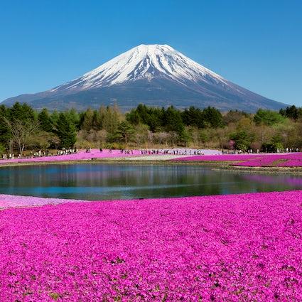 Een roze gazon bij Fuji Shibazakura Festival