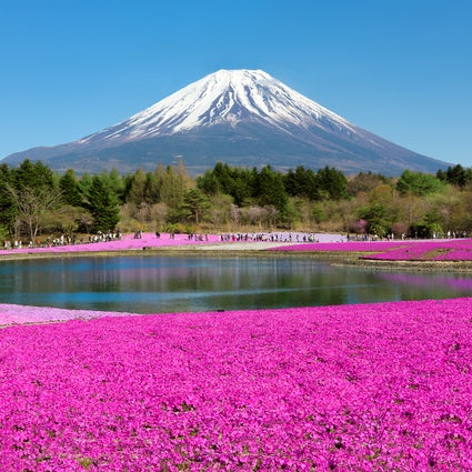 A pink lawn at Fuji Shibazakura Festival