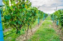 Es ist Zeit für Rtveli, ein Weinlesefest in Georgien.