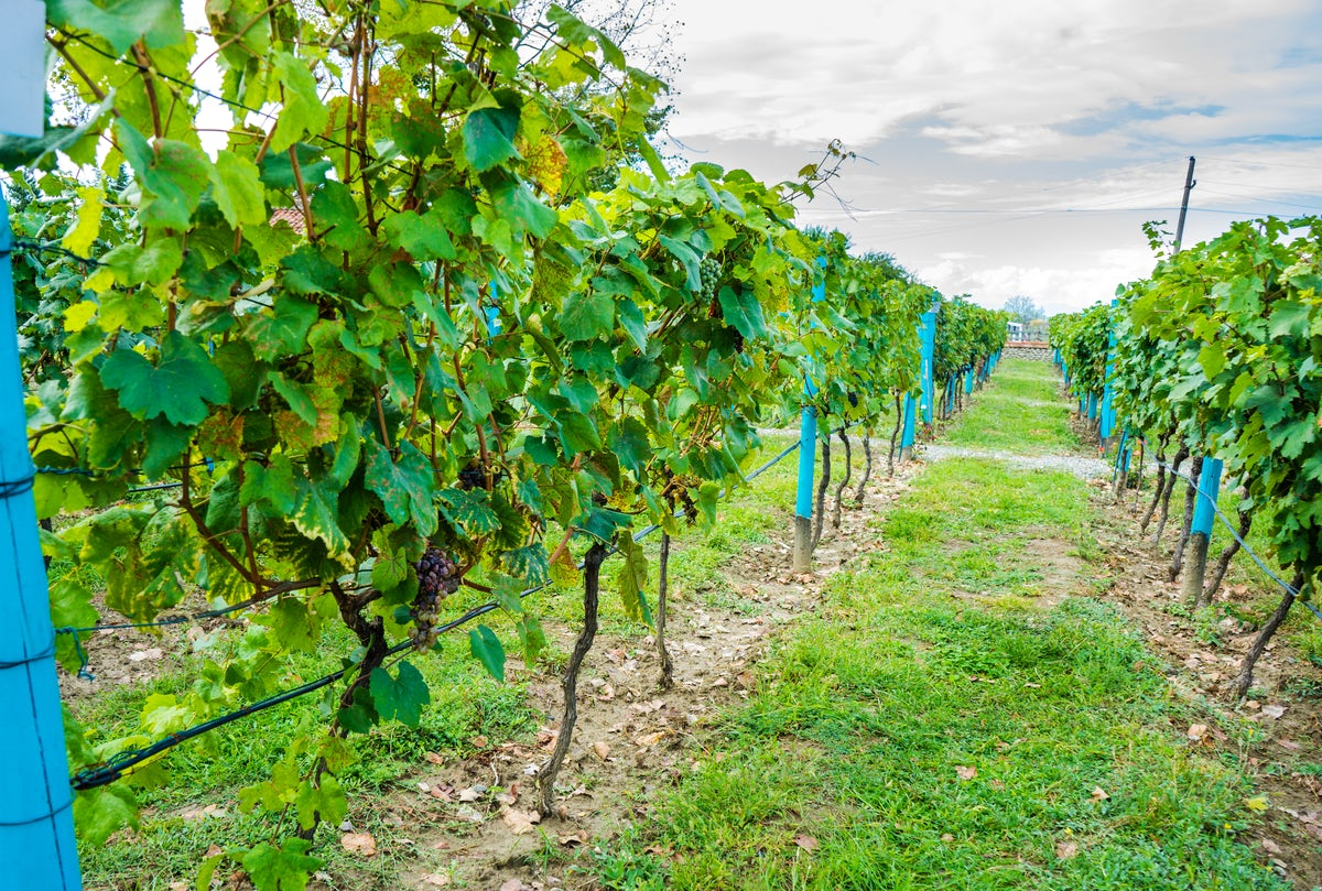 It's time for Rtveli, a grape harvest feast in Georgia
