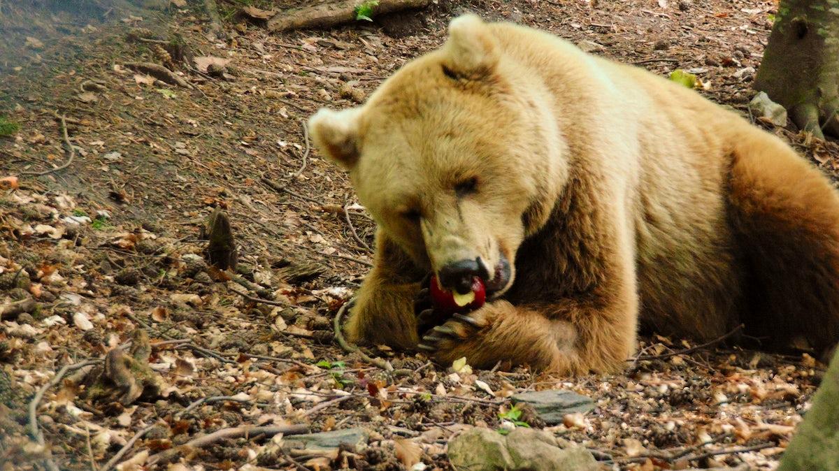 Dancing bears in Belitsa Park, Bulgaria