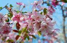 Genießen Sie die schöne Sakura im Botanischen Garten Chisinau.