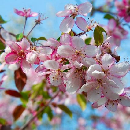 Enjoy the beautiful sakura in the Chisinau Botanical Garden