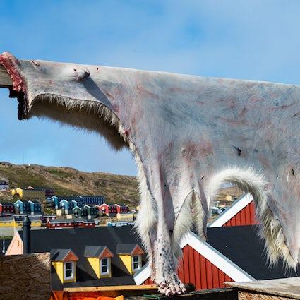 Encuentro con osos polares en Groenlandia