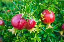 Pomegranate Festival – Goychay