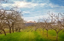 Apricots - the orange gold of Wachau