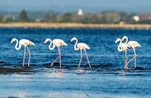 Flamingos: os mais belos moradores da Lagoa de Aveiro