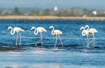 Flamingos: the loveliest residents of Aveiro Lagoon