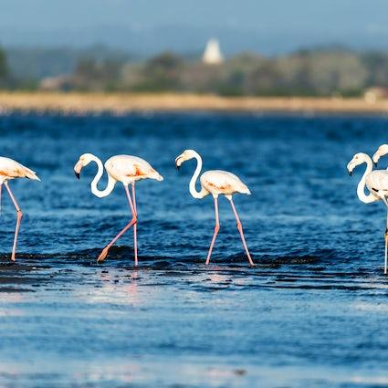 Flamingos: the loveliest residents of Aveiro Lagoon