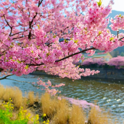 The beautiful Sakura season in Japan