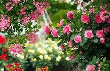 Dendrarium Park - the most stunning roses of Chisinau