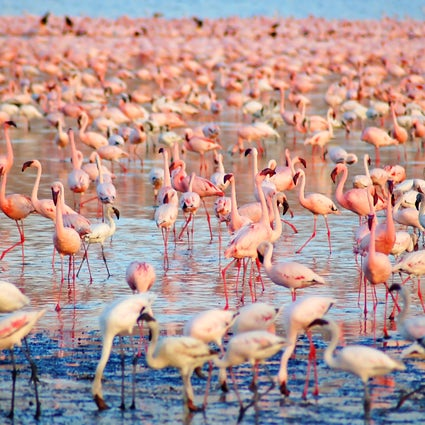 """Flamingos auf Sardinien; eine beeindruckend """"rosa Wolke"""" über den Teichen"""
