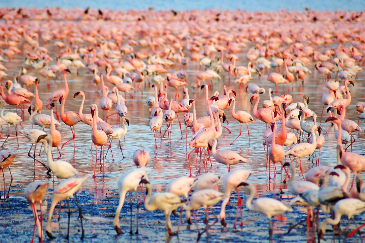 """Flamingos in Sardinia; an impressive """"pink cloud"""" over the ponds"""