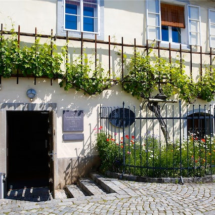The treasure of Maribor: Stara trta – the world's oldest vine