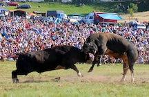 Stierengevechten zonder bloed - Bosnische Corridas