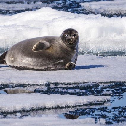 "Where to go to meet ""nerpa"", a Baikal indigenous seal"