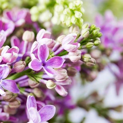 Une promenade pittoresque dans la vallée médiévale de lilas